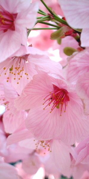 Pink Cherry Blossoms by junichiro AOYAMA #Spring #Flowers #Cherry_Blossoms