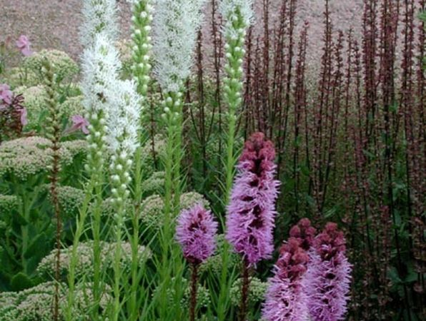 Här har man använt två olika sorter av rosenstav, den vita _Liatris spicata_ 'Alba' och den kallrosa 'Kobold'. Till höger ses avblommade stäppsalvia, Salvia nemorosa 'Caradonna'. Den låga kärleksörten till vänster, Sedum 'Carl', börjar just öppna sina ljusrosa blommor. Den kommer att blomma långt in på hösten och även de utblommade blomställningarna är vackra. I vänstra kanten ses en skymt av den enkelblommiga, rosa såpnejlikan Saponaria officinalis som håller på att avsluta sin blomning.