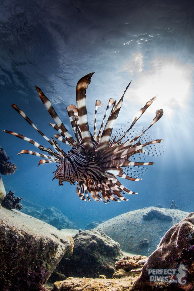 """Pterois, commonly known as Lionfish, is agenusof venomous marine fish found mostly in theIndo-Pacific.Pteroisis characterized by red, white and black bands, showy pectoral fins and venomous spikyfin rays. The potency of theirvenommakes them excellent predators and poisonous to fishermen and divers.They are well known for their ornate beauty, venomous spines and unique tentacles.  """"Majestic lion fish on the prowl"""" photographed in Mactan, Cebu by Paul Cowell."""