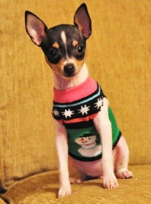 Toy Fox Terrier in a sweater....Adorable!