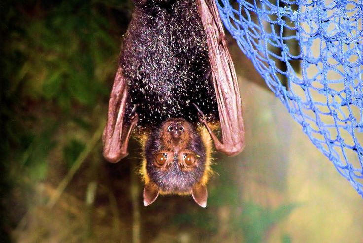meet rex who was the resident fruit bat of the bathouse at cape tribulation a few years back...rescued bats that couldnt be released back into the wild were often given work as ambassadors to the cause where the public could meet and and even feed or hold these amazing creatures!