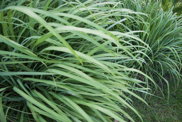 CITRONNELLE : graminée très décorative, c'est une herbe reconnue pour ses multiples vertus, dont celle d'éloigner les insectes piqueurs. Mais il n'y a pas qu'elle qui ait cette propriété de repousser les insectes piqueurs. Le thym citronnelle, la mélisse ou encore la verveine citronnelle se révèlent tout aussi efficaces.