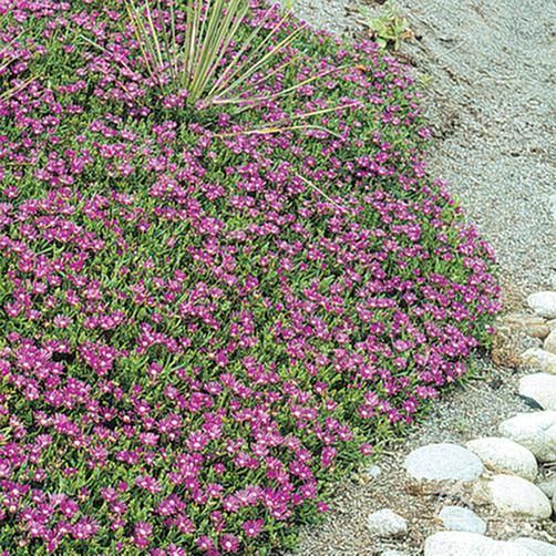 Great ground cover for slopes, sunny spots, rock gardens where other plants won't grow in poor sandy soil. The mounding is tight and it will prevent weeds from growing - Delosperma cooperi