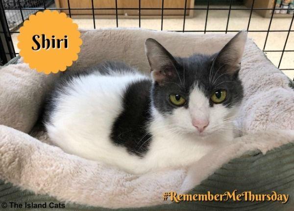 Shiri At Wac Remembermethursday Cat Adoption Domestic Cat Pets