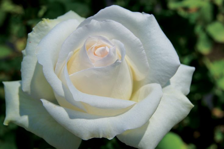 Free & Loyal - Ludwigs Roses. Huge white antico-moderno blooms. Apricot tint. Strong fragrance. Shoulder high. Good cut flower.