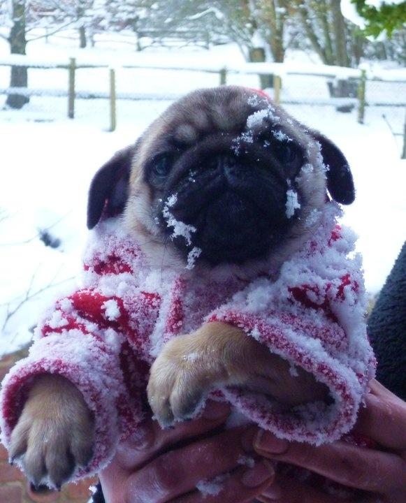 Pugs + Snow = World is Ending