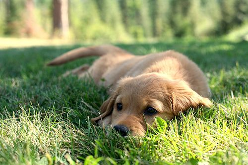 : Natural Skin, Golden Puppies, Little Puppies, Lazy Day, Dogs Day, Baby Animal, Dogs Lovers, Labrador Puppies, Golden Retriever Puppies