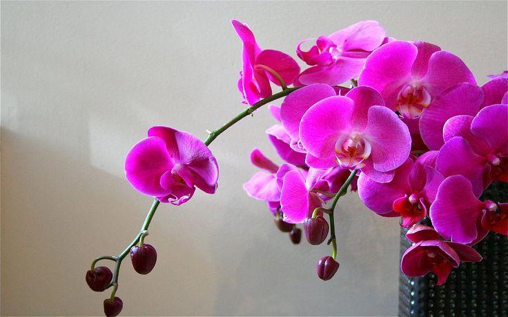 VIOLET orquídea, orquídeas roxas Vetor