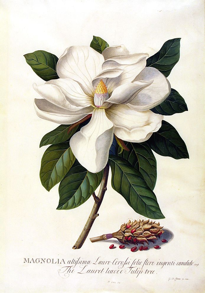 ¤ Georg Dionysius Ehret, Magnolia grandiflora, Bull Bay, 1743. Watercolour and gouache on vellum.  Ehret always favoured the pictorial rather than the diagrammatic style of botanical illustration. Here he has painted the seeds with shadows as if they were actually lying on the page. But the flower itself is represented according to the standard conventions of botanical illustration - that is, in silhouette against a white ground. Via V&A