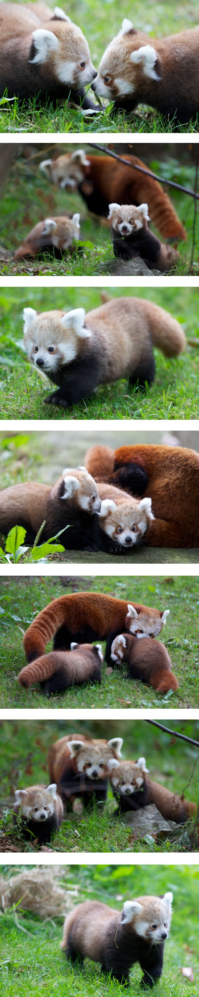 http://www.dublinzoo.ie/Images/Uploaded/RedPandaCubsSept2012.jpg