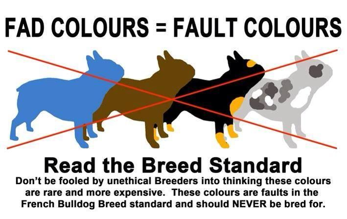"""French Bulldogs advertised as """"rare"""" colors have been disqualified by the French Bulldog Club of America due to the health risks associated with their genetics. Stay away from breeders offering Blue / Grey / Chocolate / Black & Tan / Merle Frenchies. No responsible, ethical breeder would breed against their breed standard. Paying inflated prices for a puppy who was bred for color rather than genetic health is bad for the puppy, the owner, and the breed in general…"""