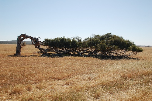 Bent trees in Geraldton, Western Australia. Grow like this coz its so windy. Awesome huh?!
