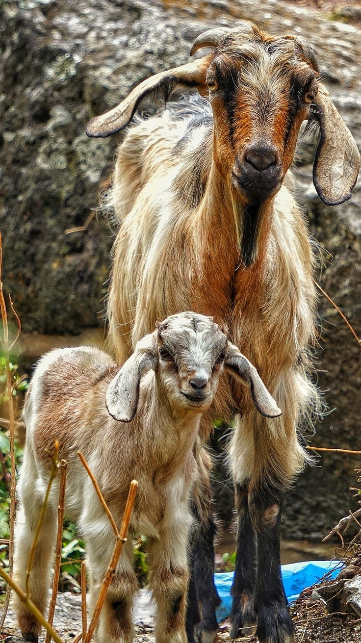 pose - Curious goats investigating the camera