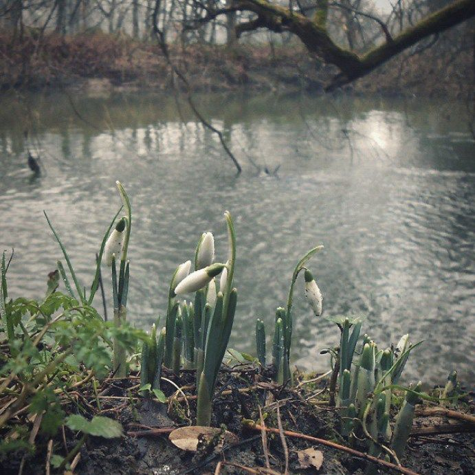#chasingspring in #January. .. #firstsnowdrops by the #river. #newtown #powys #wales #winter #snowdrops #подснежники #река #flowers  - LinanDara's Art-n-Folk