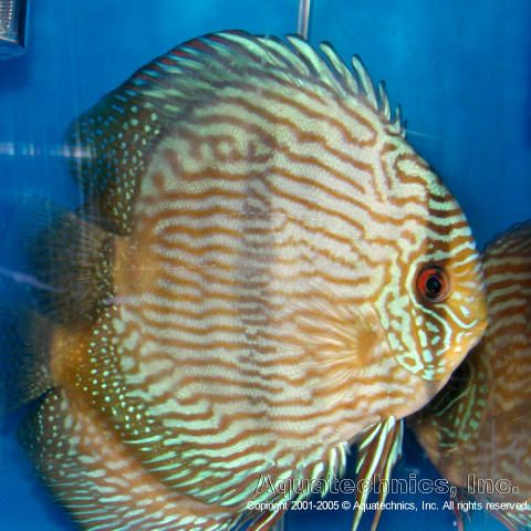 513 best discus fish images on pinterest aquarium fish for It s about the cross go fish
