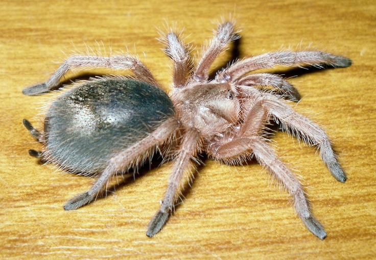 the characteristics of the chilean rose tarantula a tarantula species Characteristics of a tarantula species of tarantulas rose hair tarantula: the chilean rose hair tarantula's native habitat is the desert.