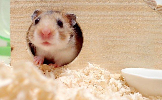 ゴールデンハムスターの飼育方法 値段や体の大きさ 必要なケージは Woriver ハムスター キンクマハムスター シリアンハムスター
