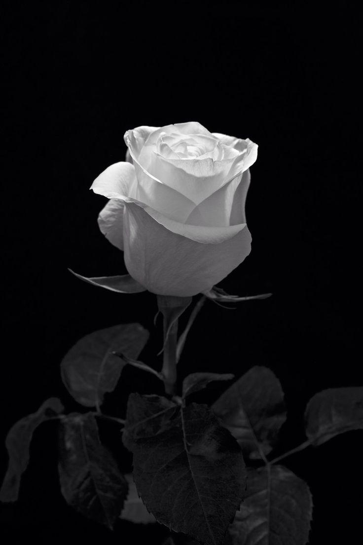 (via 500px / White Rose by Altug Karakoc)