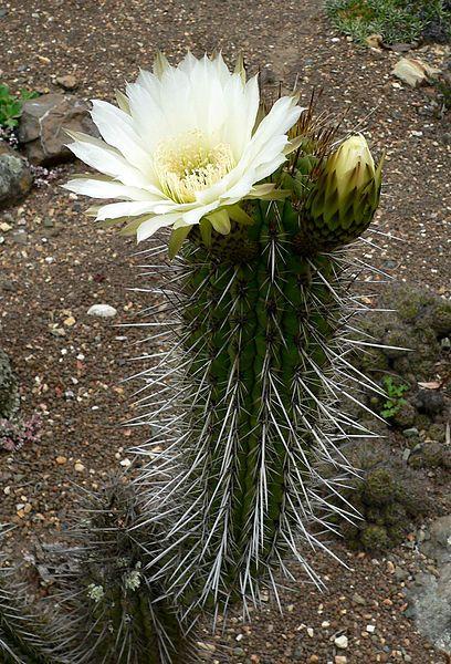 ♕cactus - Trichocereus chiloensis