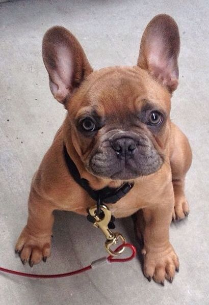 french bulldog puppies nc 1000 ideas about mini french bulldogs on pinterest 2824