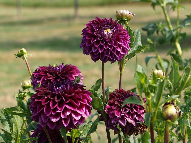 50 best amaryllis images on pinterest flowers plants. Black Bedroom Furniture Sets. Home Design Ideas