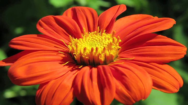 Mexican sunflowers, or tithonia rotundifolia, are plants that like warm and tropical climates that are very dry. Provide Mexican sunflowers with good drainag...
