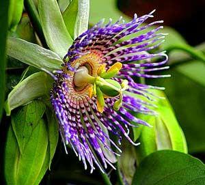 Passion Flower Rainforest Flowers Rainforest Plants Beautiful Flowers Pictures