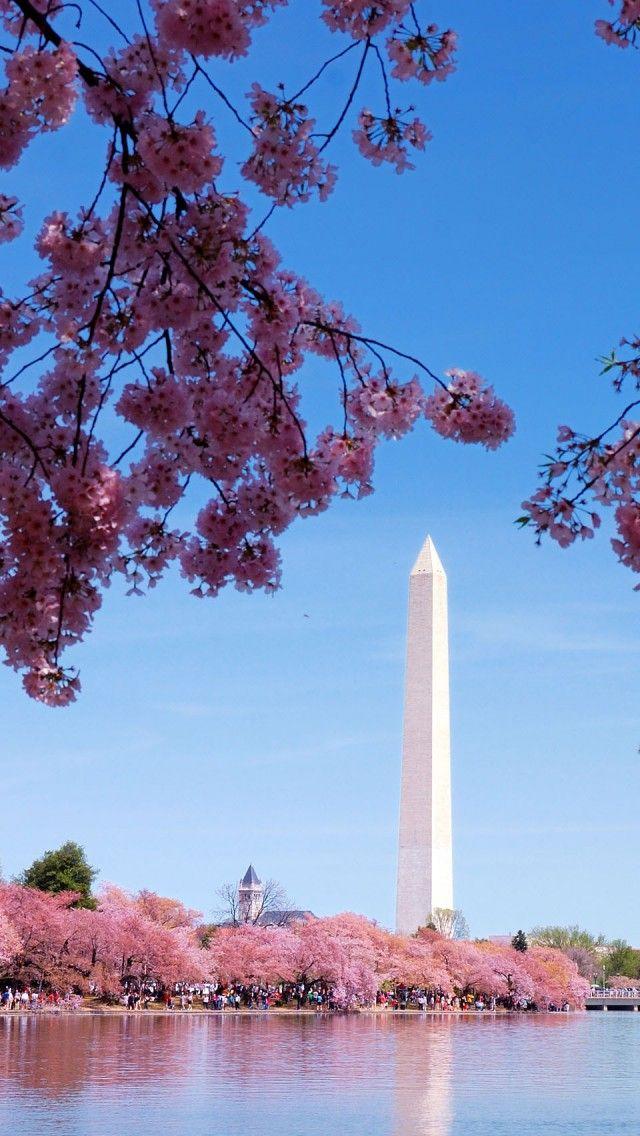 Washington DC Monument during cherry blossom season