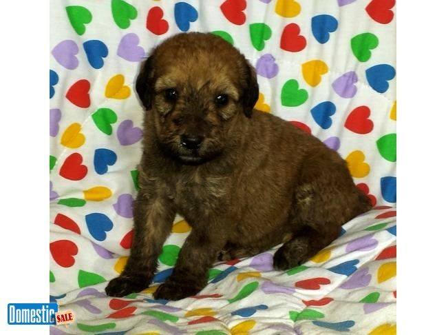 PATRICIA: $1095, Female, Red, Airedoodle, born 3-10-16 to Female Airedale I have been breeding Giant Airedale Terriers for almost 11 years. Love the breed. I had a Standard ...