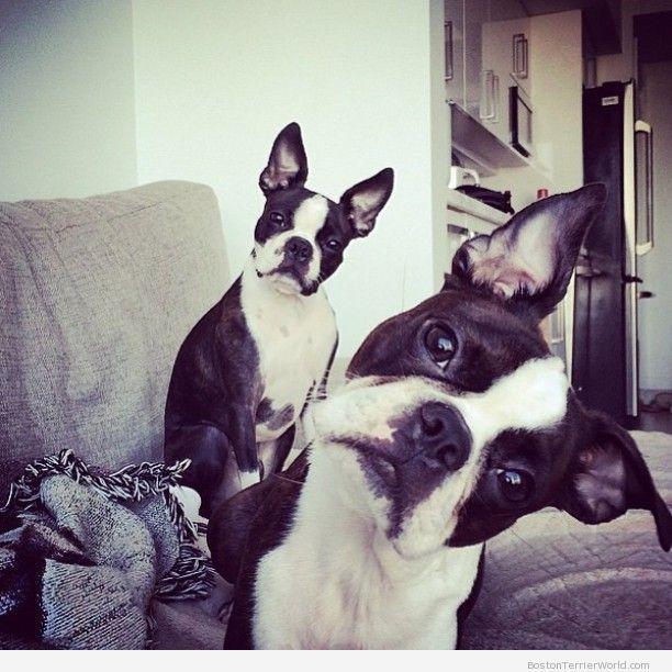 Did+you+say+cookie?!+–+Boston+Terrier+Pictures+❤❤❤+from+BostonTerrierWorld.com