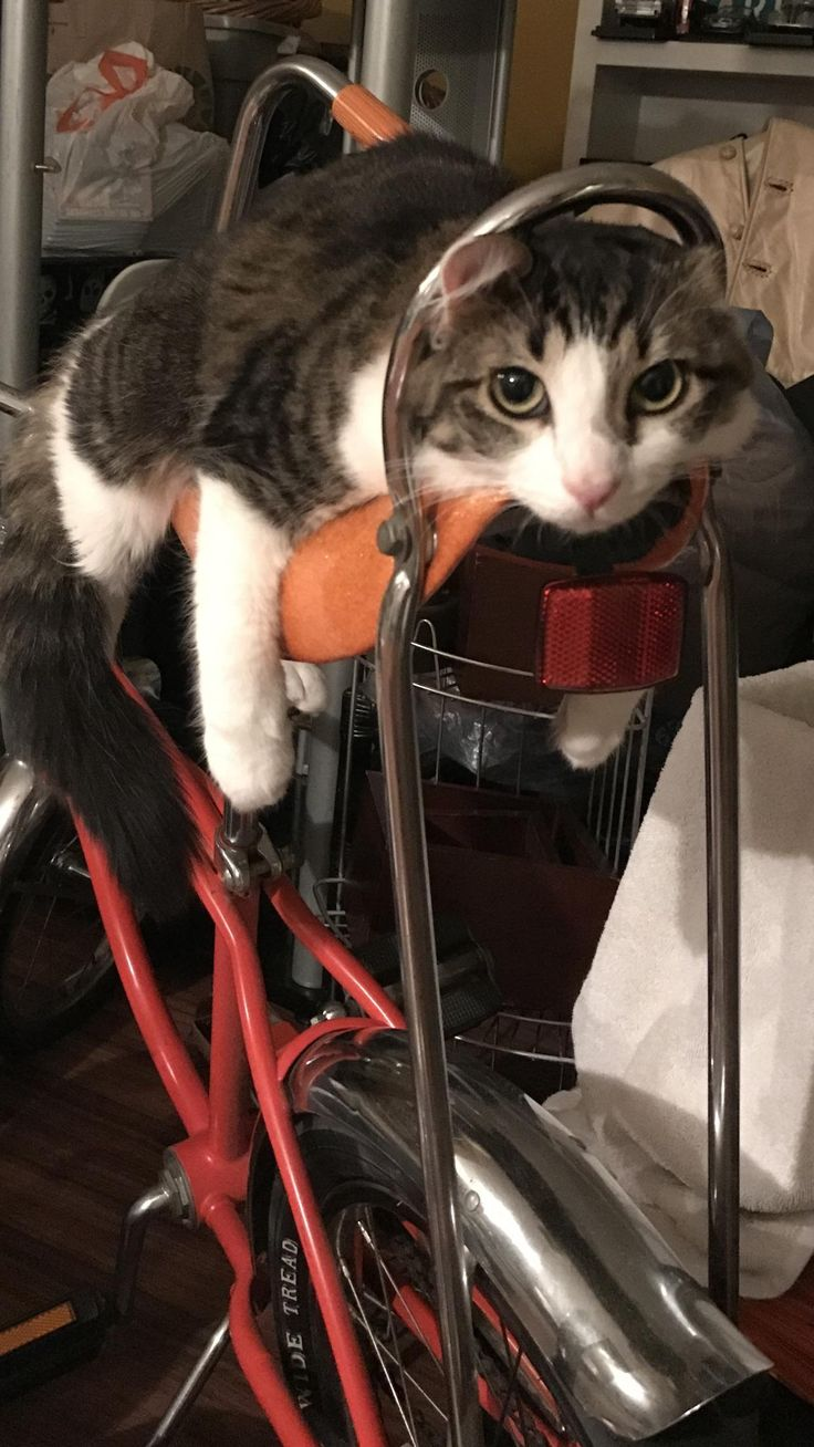 Roommates cat loves lounging on the banana seat on this old Schwinn bike.   cats funny pictures