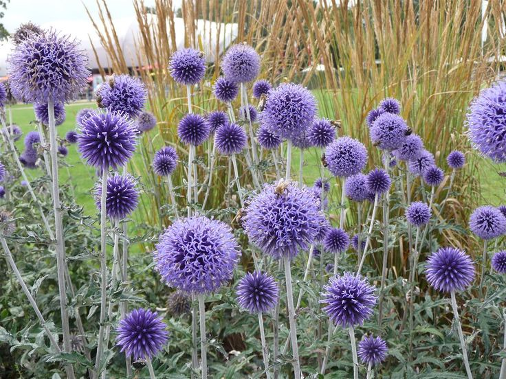 Image result for echinops veitch's blue