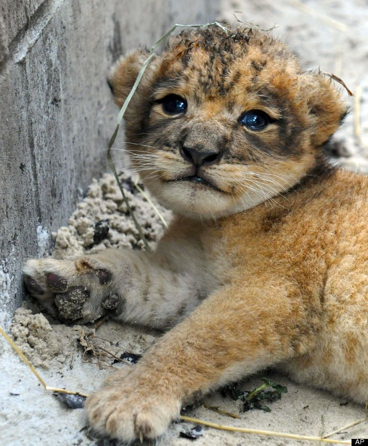 waaa baby lions are the cutest. http://huff.to/OK64UY