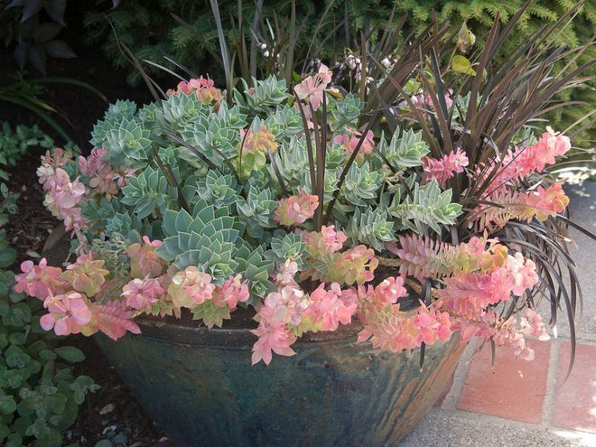 Donkey Tail Spurge (Euphorbia myrsinites) in a rustic blue pot