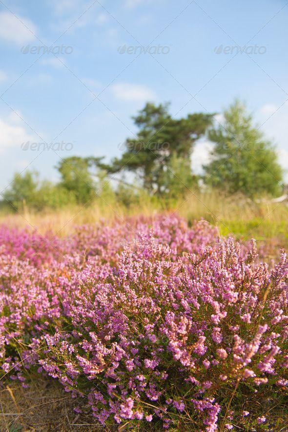 DOWNLOAD :: https://realistic.graphics/article-itmid-1006925676i.html ... Blooming heather field ...  Erica, Leusden, Treek, amersfoort, blooming, branch, close, dutch, fields, flowers, heather, holland, macro, moorland, nature, netherlands, purple, wild  ... Templates, Textures, Stock Photography, Creative Design, Infographics, Vectors, Print, Webdesign, Web Elements, Graphics, Wordpress Themes, eCommerce ... DOWNLOAD :: https://realistic.graphics/article-itmid-1006925676i.html