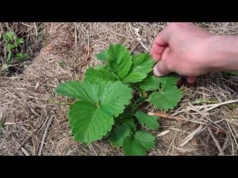 Выращивание клубники под сеном (соломой) - мой опыт - YouTube