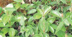 Incrível! Nem imagina o que acontece se colocar canela em suas plantas - # #canela #plantas