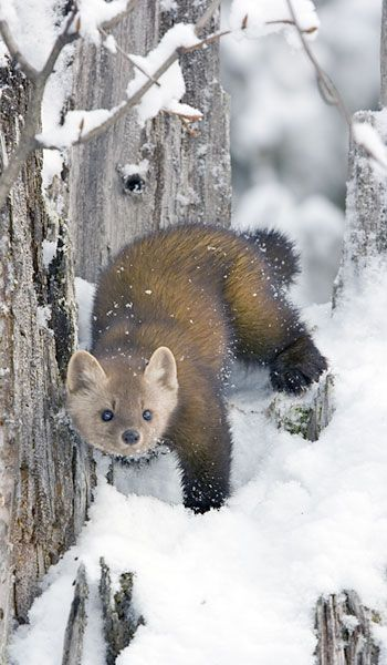 Photo: American Marten, Martes americana. Gerald and Buff Corsi © California Academy of Sciences Reproduction Rights