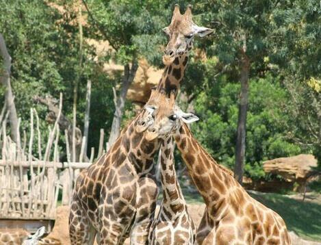 Family. Giraffe. Wild. Nature.