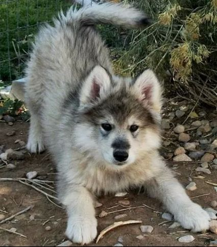 Next family pet is going to be a wolf breed