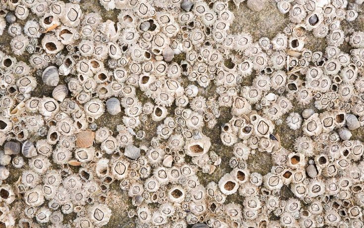 12963050-Barnacles-at-the-beach-on-a-rock-ideal-for-a-marine-texture-or-background-Stock-Photo.jpg (1300×815)
