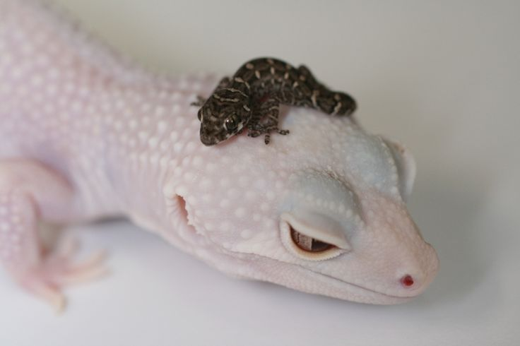 Carrot-tail Viper Gecko (Teratolepis fasciata) sitting on the head of a Blizzard Leopard Gecko (Eublepharis macularius)