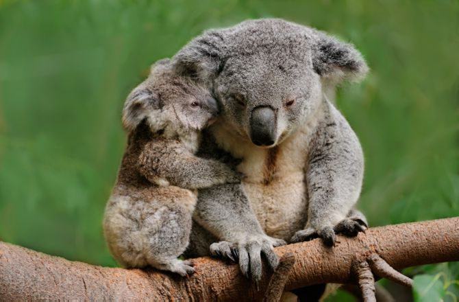 https://www.google.com/search?q=koala standing up