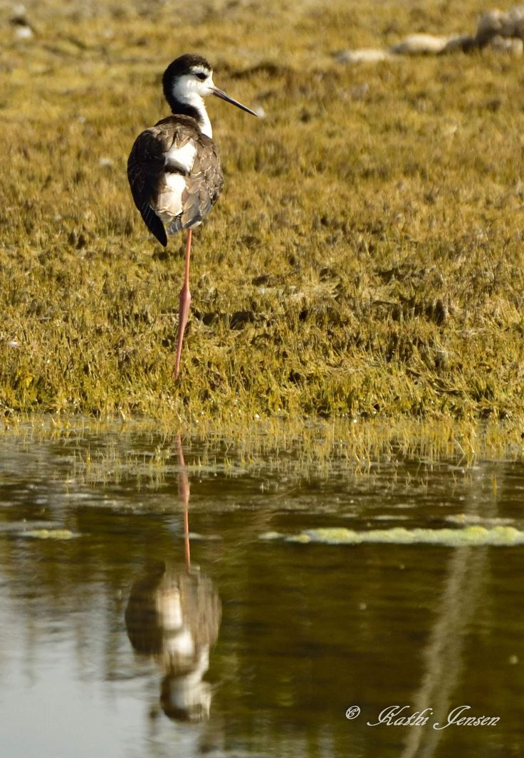 Beautiful black necked stilt resting in the sunlight.  This image is available for purchase on etsy.com at natureartgallery