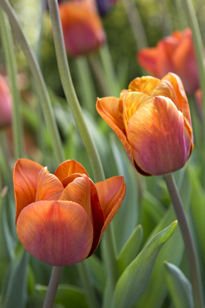 tulip bulbs how to know the color of flowers
