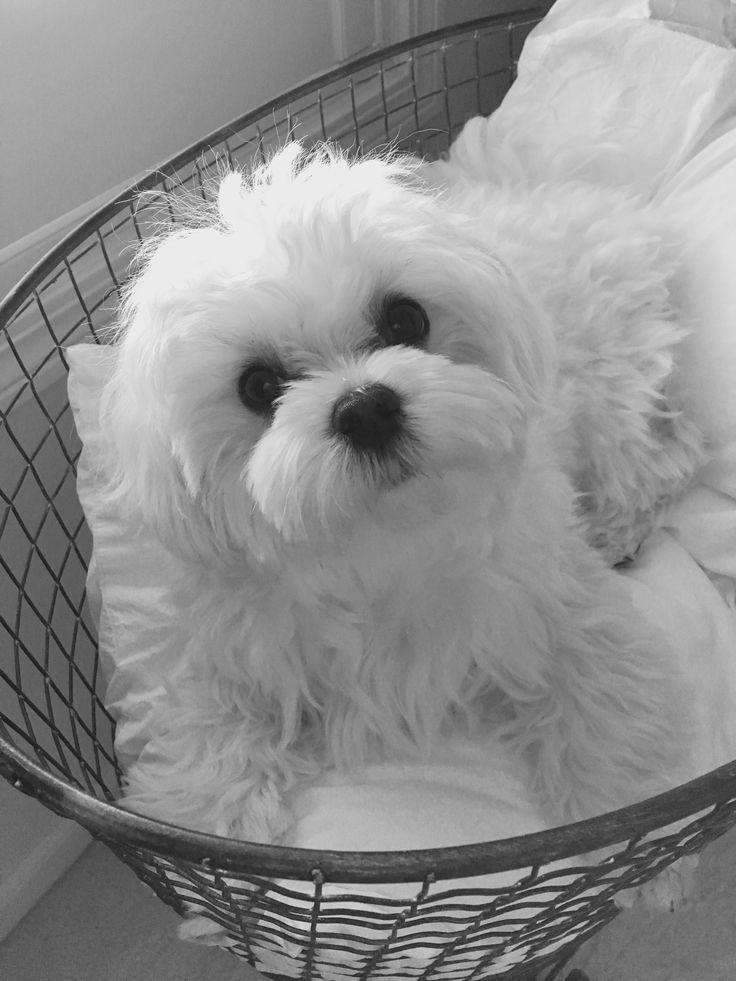Doc Maltese in a basket