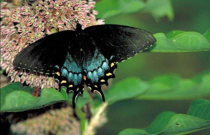 Spicebrush Swallowtails Are Am … steht (oder rangiert) 4 auf der Liste The World & …   – Aww