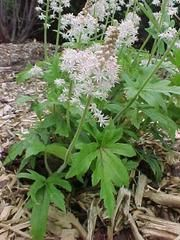 Tiarella 'Iron Butterfly'  - Plant Finder