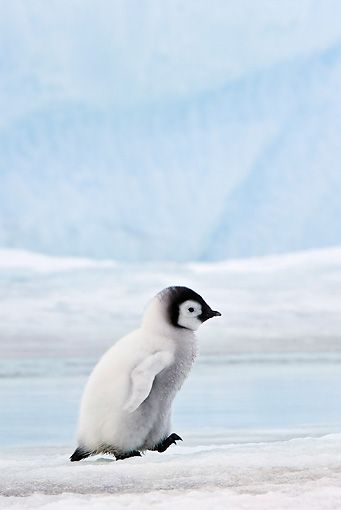 theanimaleffect: Emperor Penguin Chick Walking...