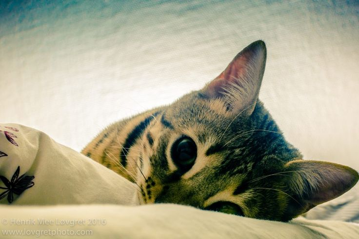 Cute and adorable Bengal Cat